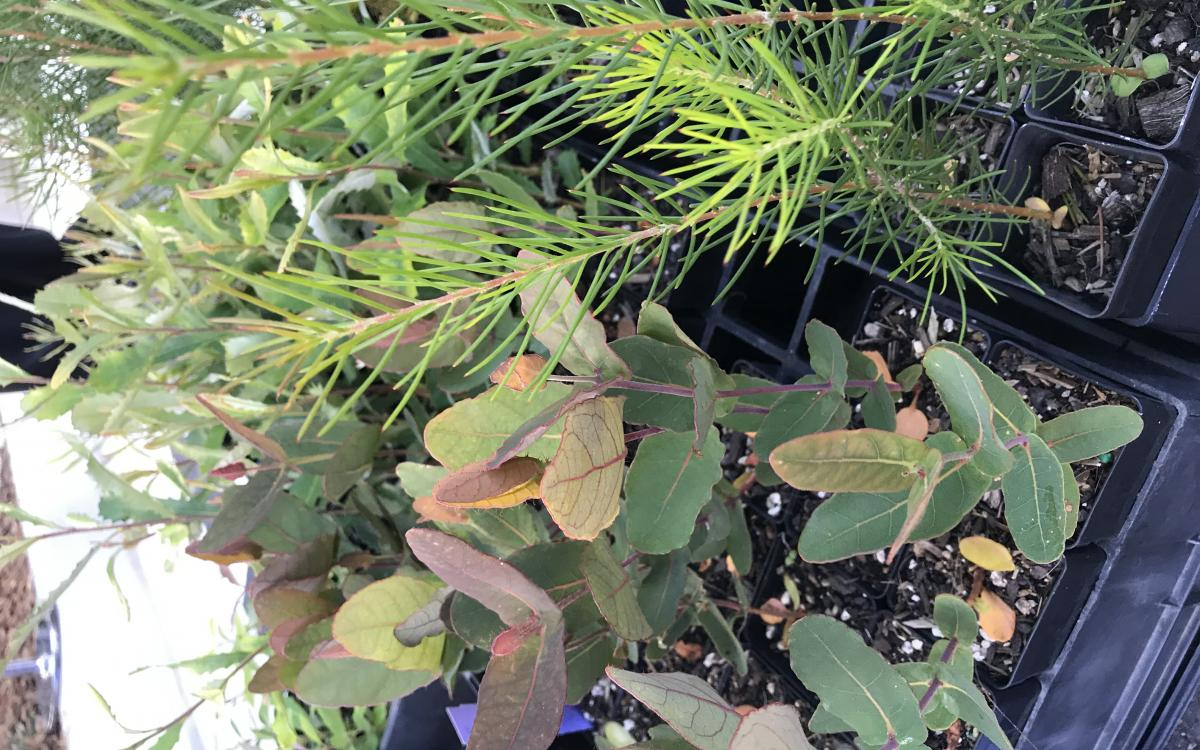 Native plant giveaway and workshop